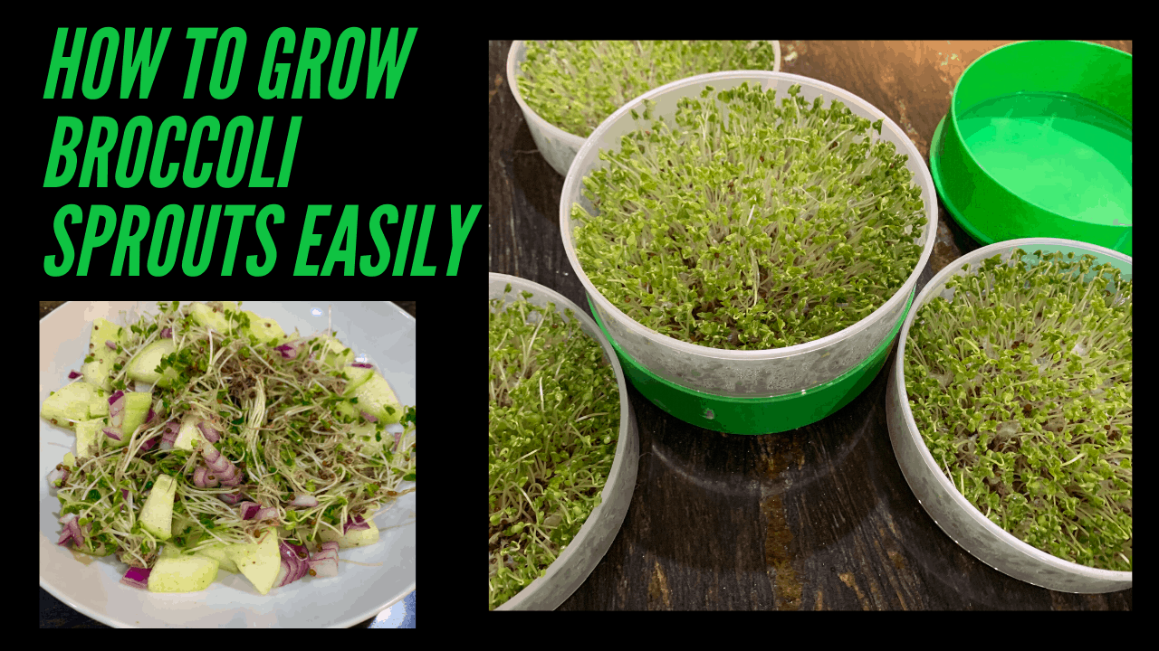 Health Benefits Of Broccoli Sprouts And How To Grow Them Cook2nourish Aip Indian Recipes Indian Diet For Autoimmune Disease Nutritional Consulting For Ra Aip Indian Cookbook Aip Certified Indian Coach